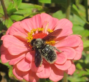 carpenter bee in pollen
